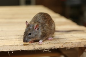 Mice Infestation, Pest Control in Wimbledon, SW19. Call Now 020 8166 9746