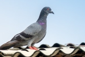 Pigeon Control, Pest Control in Wimbledon, SW19. Call Now 020 8166 9746