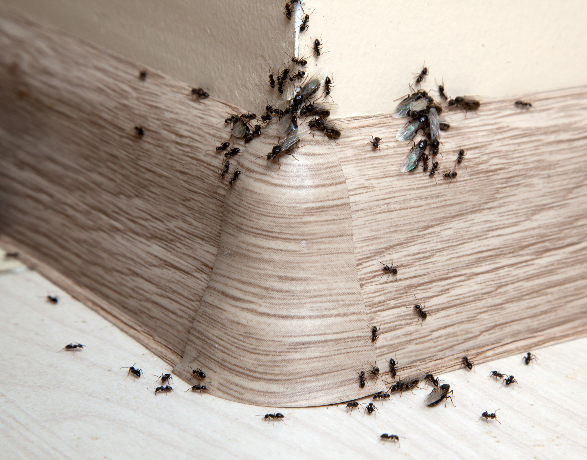 Ant Infestation, Pest Control in Wimbledon, SW19. Call Now 020 8166 9746