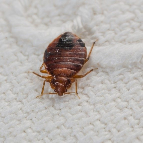 Bed Bugs, Pest Control in Wimbledon, SW19. Call Now! 020 8166 9746