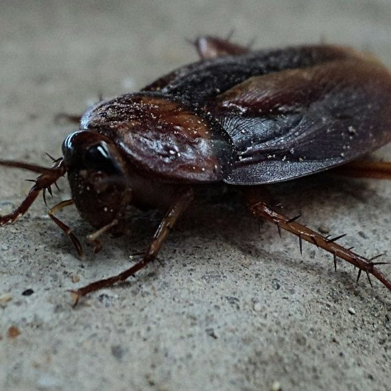 Cockroaches, Pest Control in Wimbledon, SW19. Call Now! 020 8166 9746