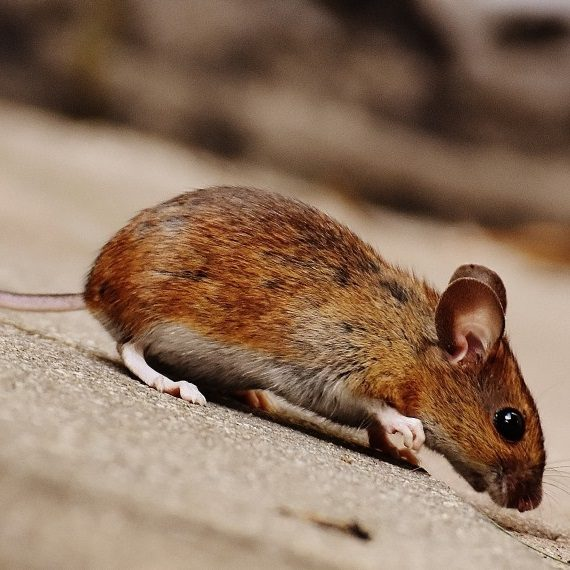 Mice, Pest Control in Wimbledon, SW19. Call Now! 020 8166 9746
