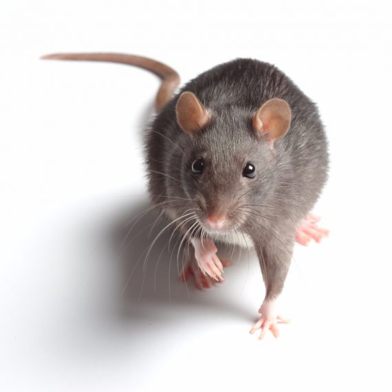 Rats, Pest Control in Wimbledon, SW19. Call Now! 020 8166 9746